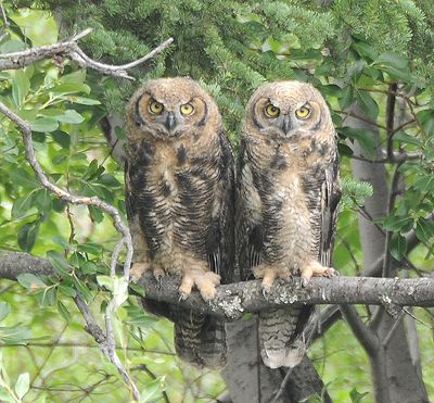 great-horned-owls.jpg Really. Who cares about willow seed puffs when you've
