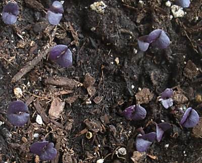 Purple basil seedlings