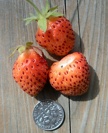 Three small strawberries