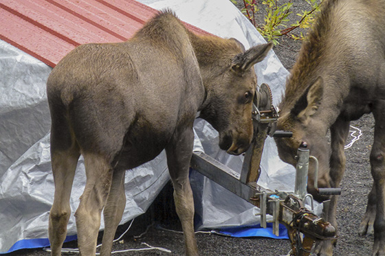 Twin moose calves playing with a boat trailer.