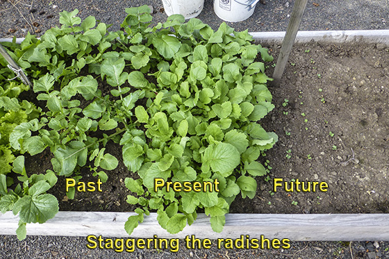 Radishes at different stages of development.
