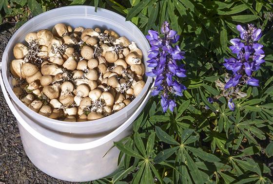 Bucket full of puffballs