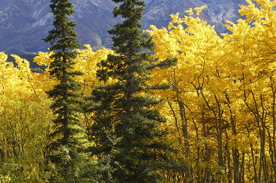Aspen trees with bright yellow leaves.