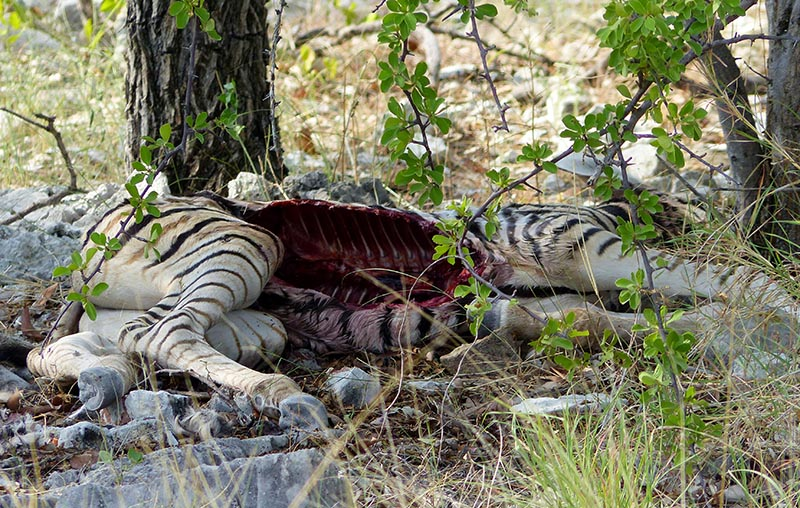 Zebra Carcass, Etosha National Park