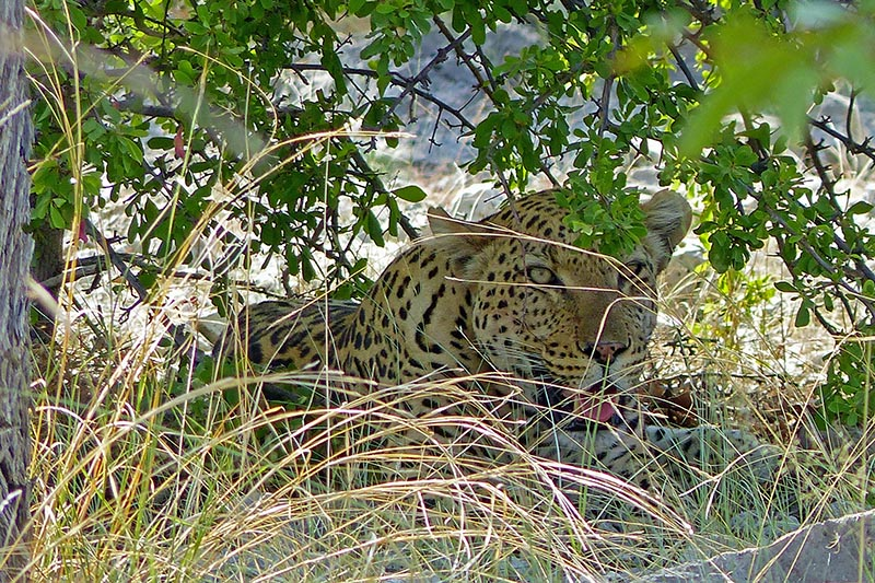 Leopard Under Tree, Etosha National Park