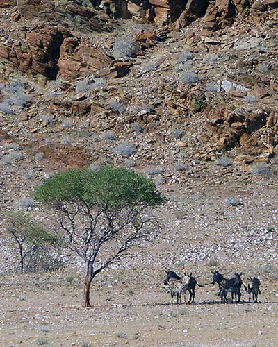 Mountain zebras in the shade.