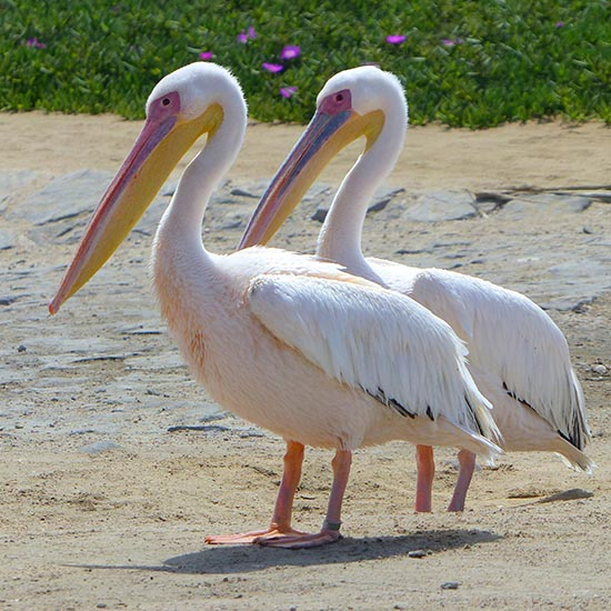 Great White Pelicans, Walvis Bay, Namibia