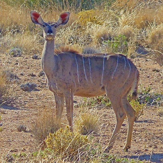 Kudu female, Namibia