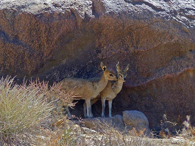 Klipspringers, Namibia