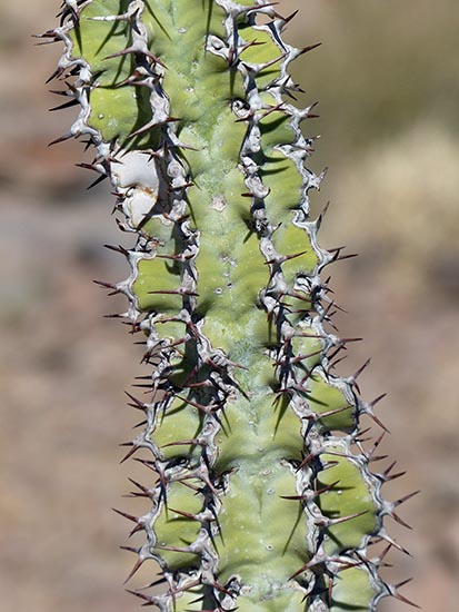 Euphorbia, Fish River Canyon, Namibia