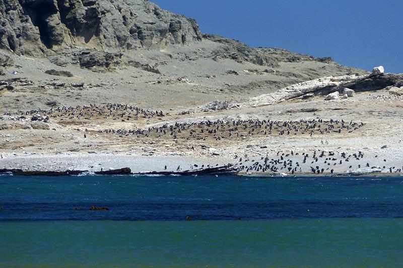 African Penguins in Luderitz