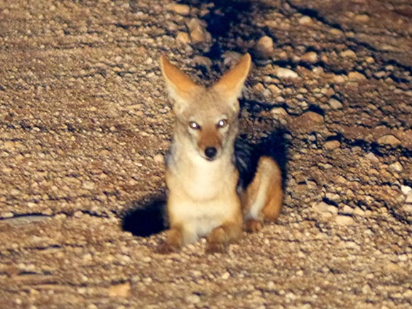 Jackal in Headlights, Namibia