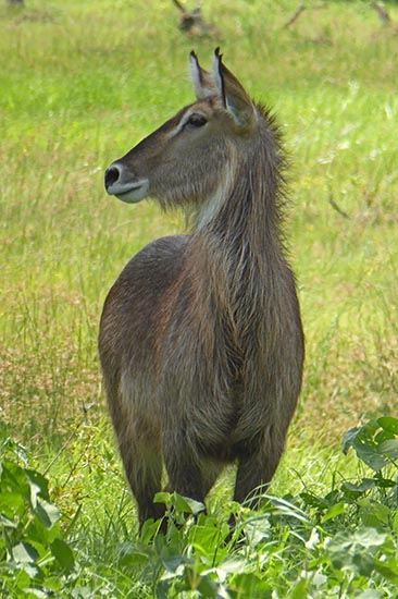 Furry female waterbuck in the light of day.