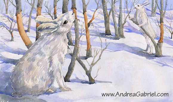 Snowshoe hares eating willow bark, by Andrea Gabriel