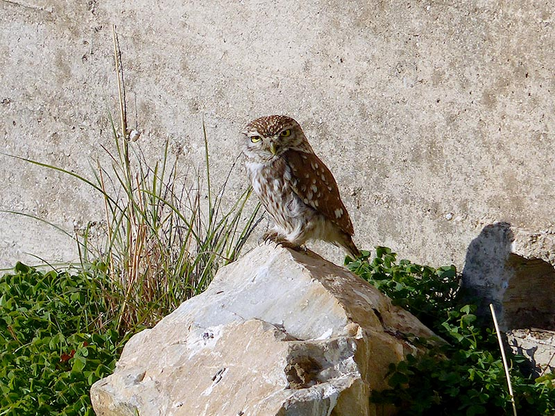 Little Owl on Leros, Greece - Jen Funk Weber
