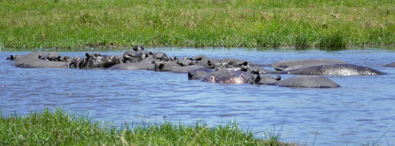 Hippos resting peacefully, Khwai River, Botswana