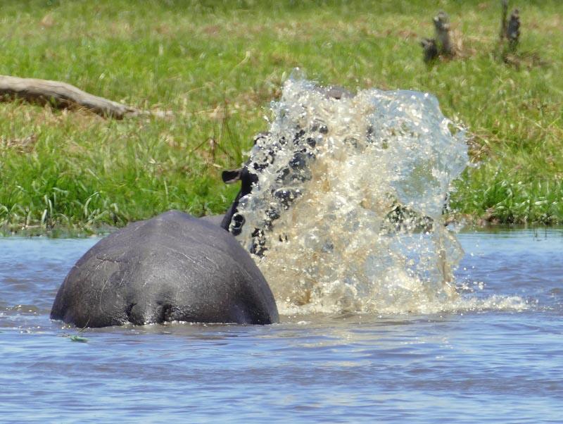 Hippo water scooping, Khwai River, Botswana