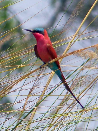Carmine bee-eater, Boro River, Okavango Delta, Jen Funk Weber