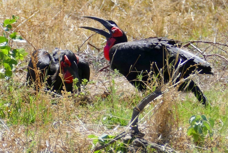 Ground hornbill, Botswana