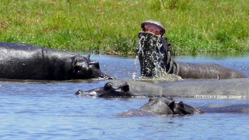 Hippopotamus scooping water, Khwai River, Botswana
