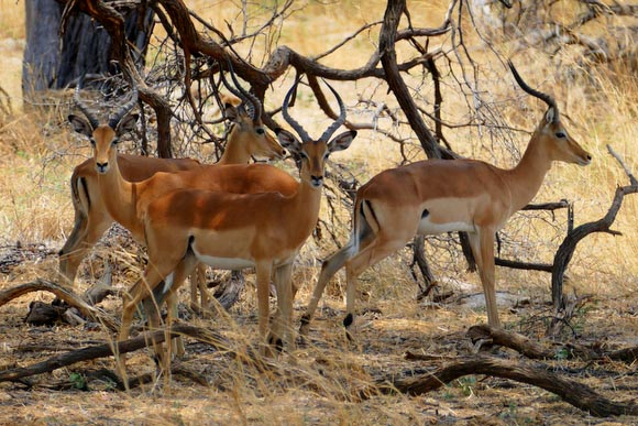 Impala, males, South Gate Road, Botswana