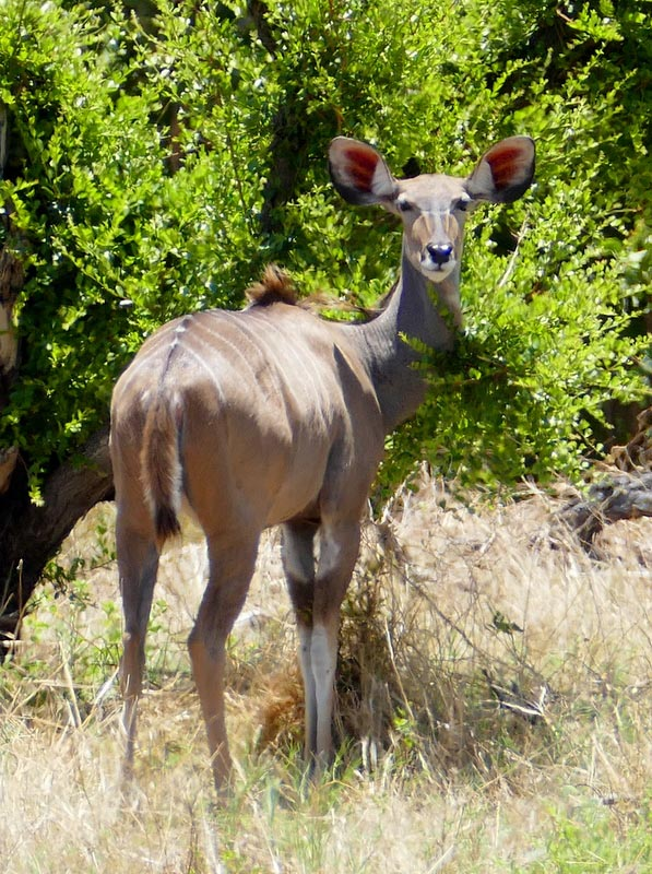 Kudu at the Khwai River, Botswana