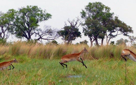 Leaping lechwe line, Boro River, Okavango Delta, Botswana