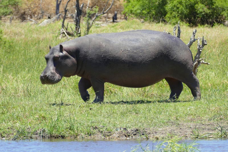 Model hippo on land, Khwai River, Botswana