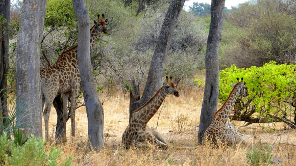 Two giraffes sitting, one standing, South Gate Road, Botswana