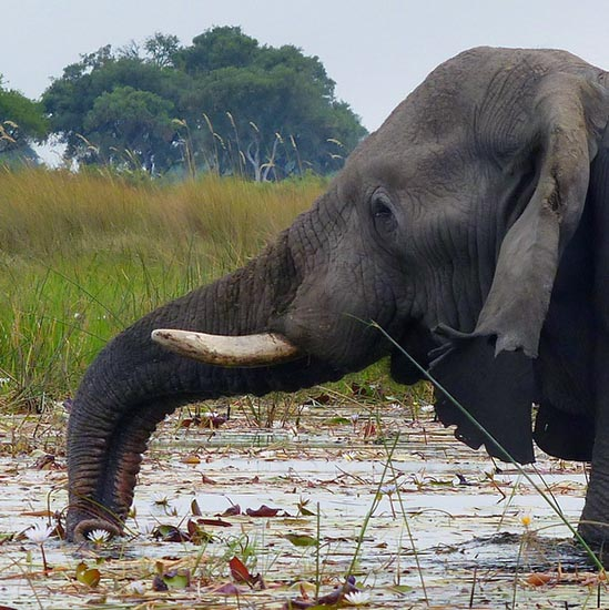 Elephant trunk and lily flower, Boro River, Okavango Delta, Botswana