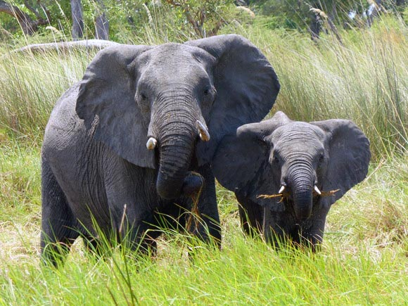 Female elephant and young, Boro River, Okavango Delta, Botswana