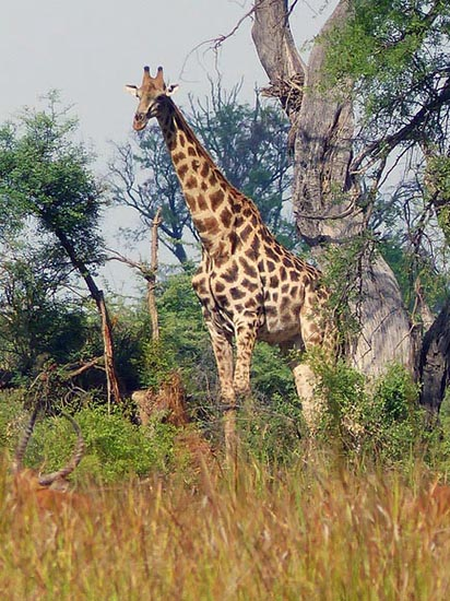 Giraffe, along the Boro River, Okavango Delta, Botswana