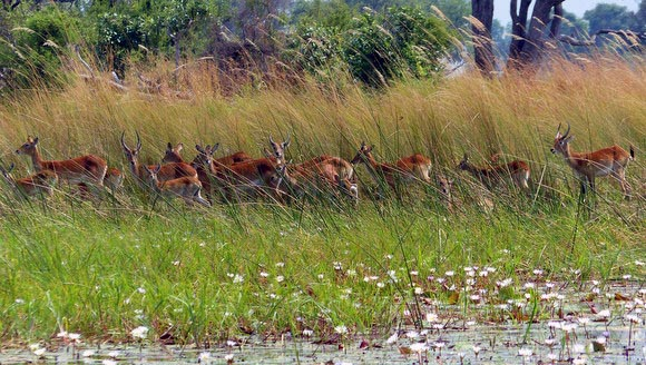 A group of lechwe along the Boro River, Okavango Delta, Botswana