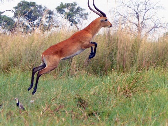 Leaping lechwe, Boro River, Okavango Delta, Botswana