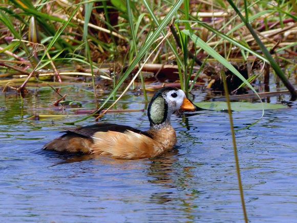 Pygmy goose, Boro River, Okavango Delta, Botswana