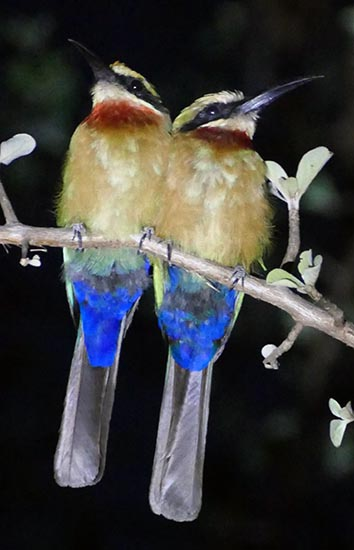 White-fronted bee-eater pair perched for the night, Okavango River, Botswana
