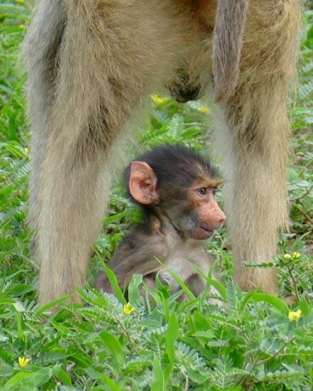 Chacma babboon baby, Chobe National Park, Botswana