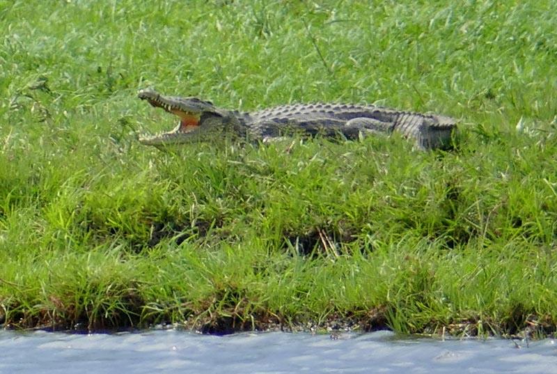 Crocodile on the grass bank, Chobe National Park, Botswana