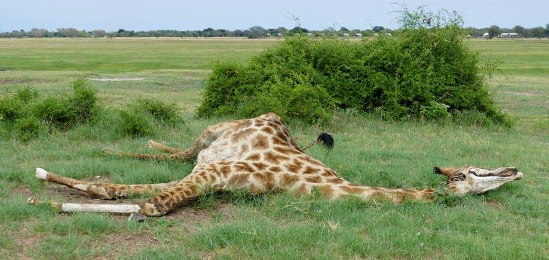 Dead giraffe, Chobe National Park, Botswana