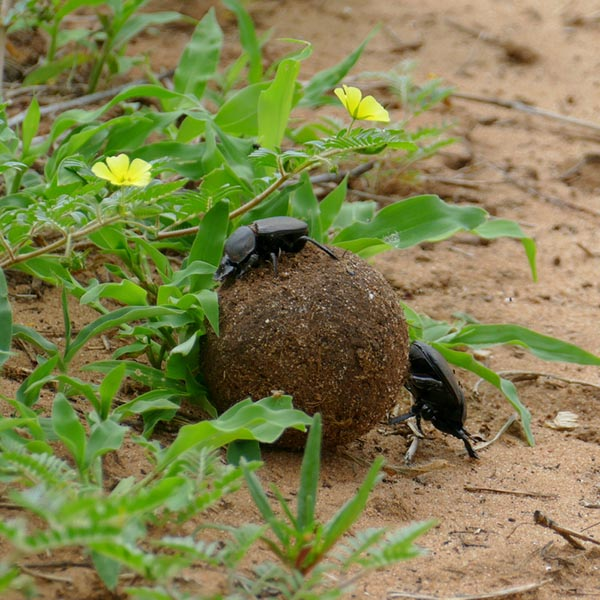 Dung beetles on dung ball, Chobe National Park, Botswana
