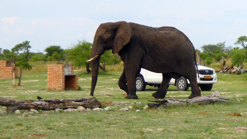 Elephant in our campsite, Elephant Sands, Botswana