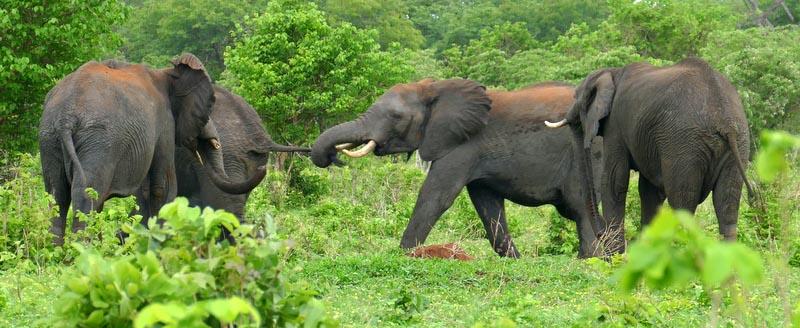 Elephant pulling tail, Chobe National Park, Botswana