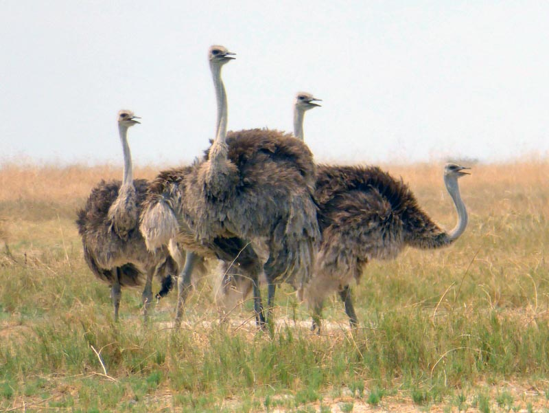 Female ostriches, Nata Bird Sanctuary, Botswana