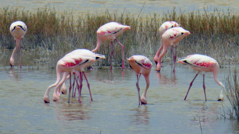 Flamingos feeding, Nata Bird Sanctuary, Botswana