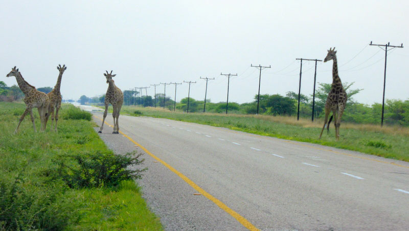 Giraffes in the road, Botswana