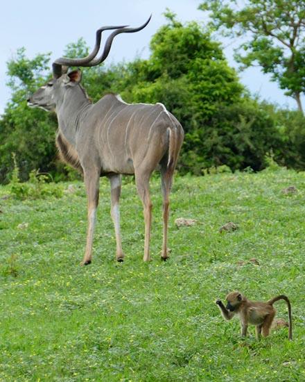 Kudu and babboon, Chobe National Park, Botswana