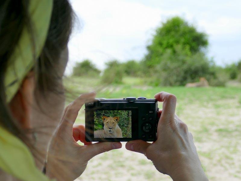 Lion on camera, Chobe National Park, Botswana