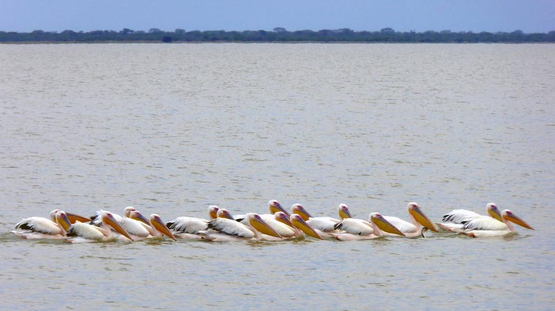 Pelicans in Nata Bird Sanctuary, Botswana