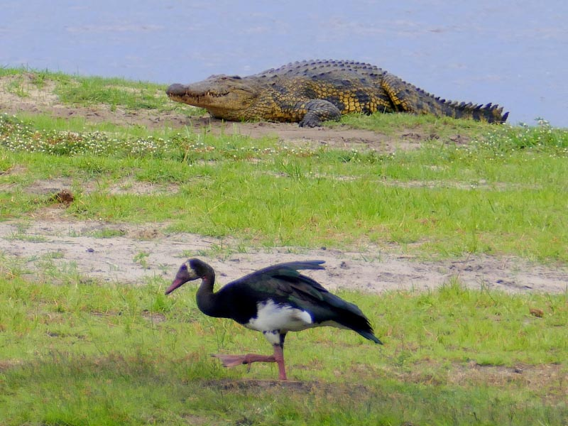 Spur-winged Goose and Crocodile, Chobe National Park, Botswana