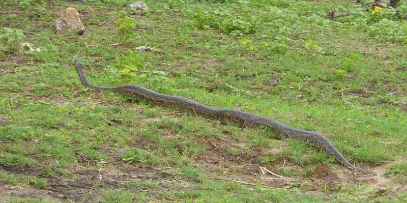 Ten-foot rock python, Chobe riverfront, Botswana